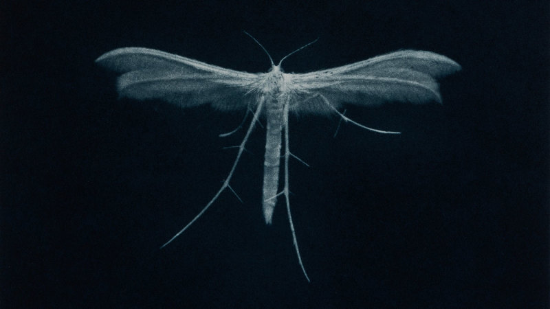 In 60 seconds: Sarah Gillespie's 'White Plume Moth'