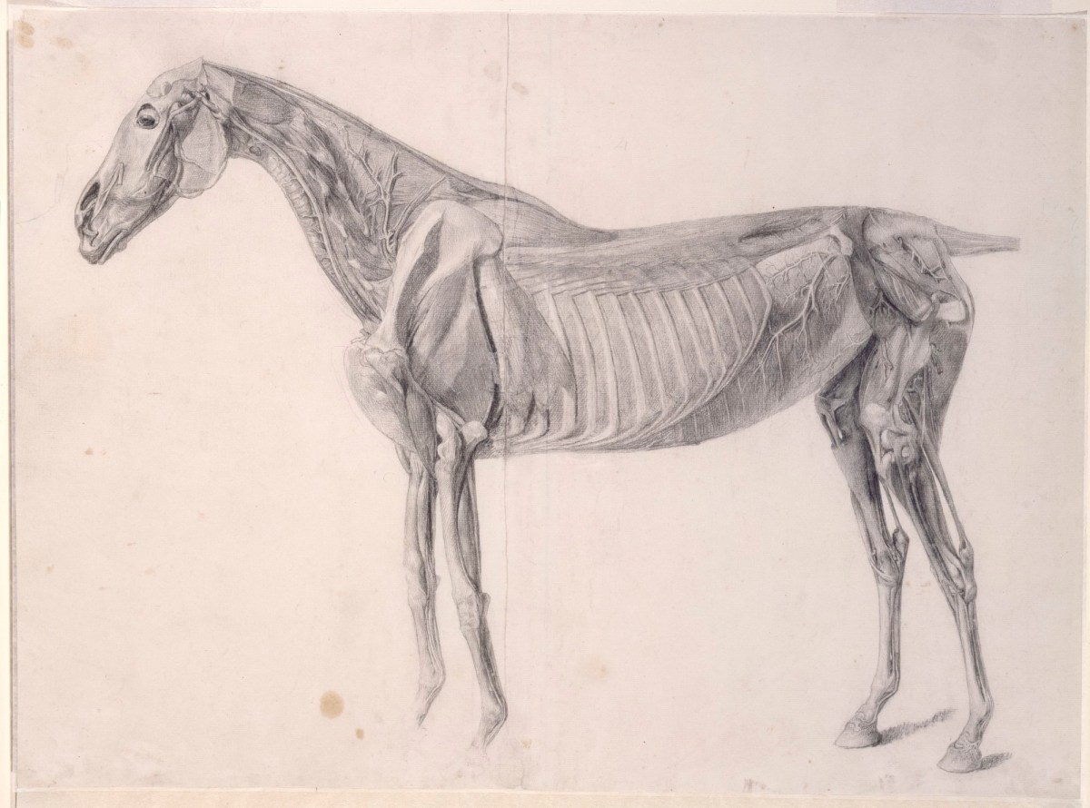 Finished Study For The Fourth Anatomical Table Of The Muscles Of The Horse Works Of Art Ra Collection Royal Academy Of Arts