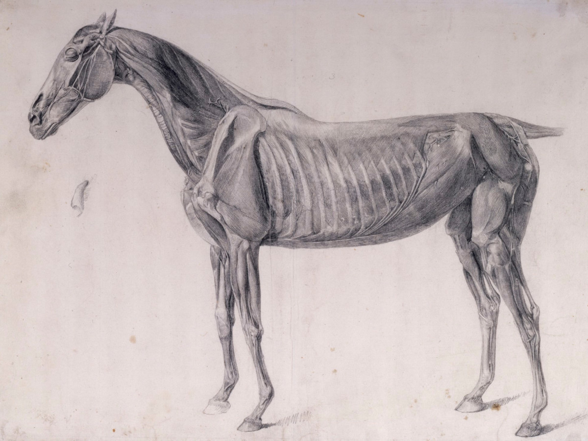 Drawing The Animal Form Anatomy Of The Horse Event Royal