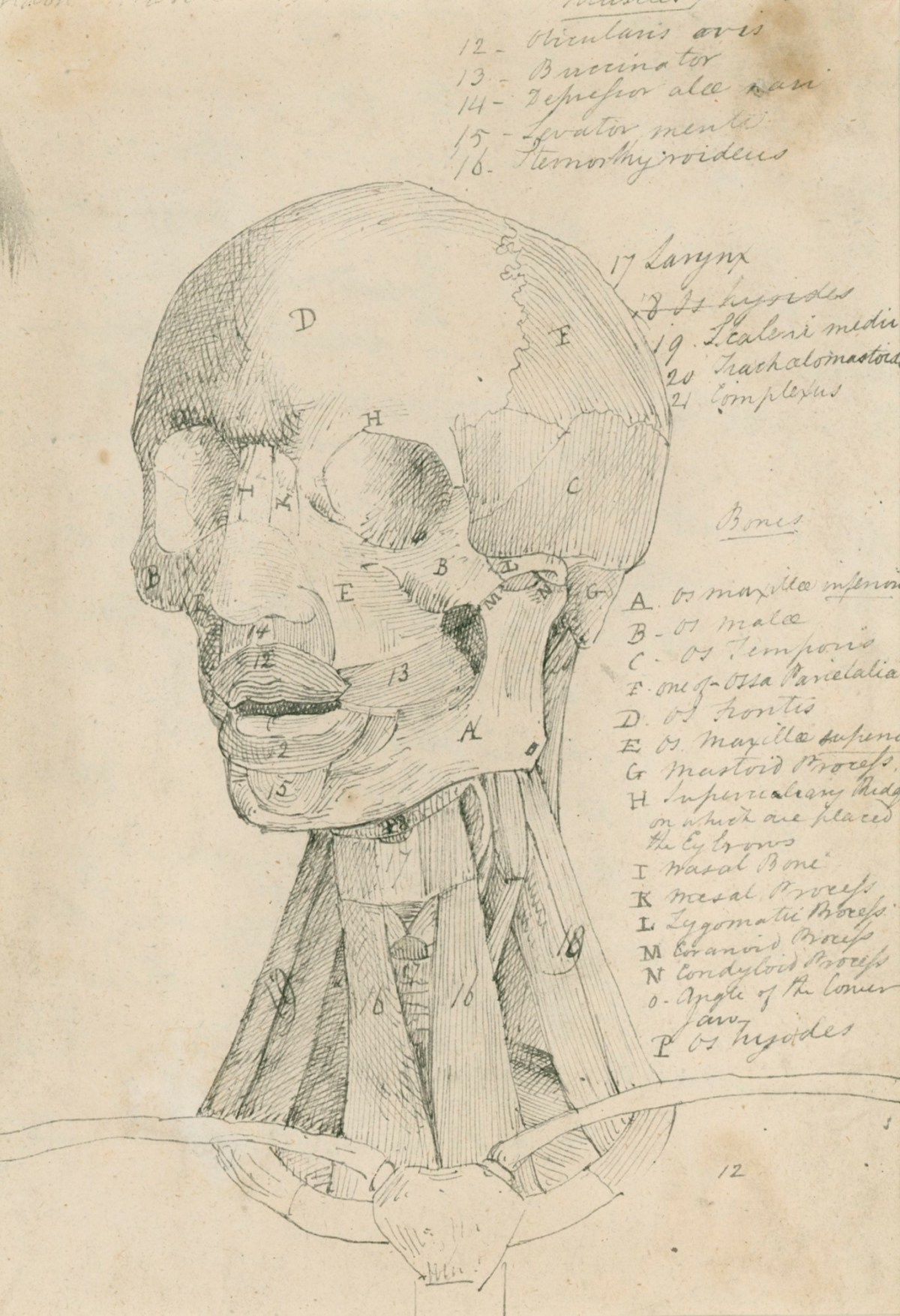 Anatomical drawing of the bones and muscles of the head and neck ...